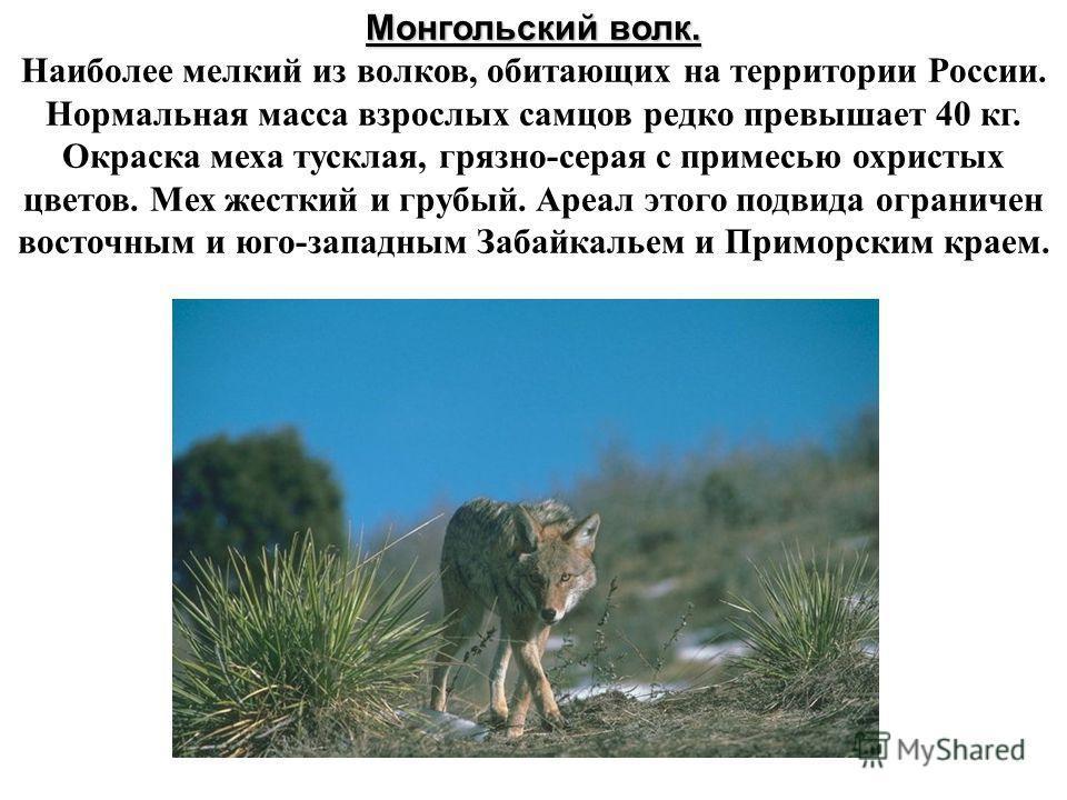 Монгольский волк. Монгольский волк. Наиболее мелкий из волков, обитающих на территории России. Нормальная масса взрослых самцов редко превышает 40 кг. Окраска меха тусклая, грязно-серая с примесью охристых цветов. Мех жесткий и грубый. Ареал этого по