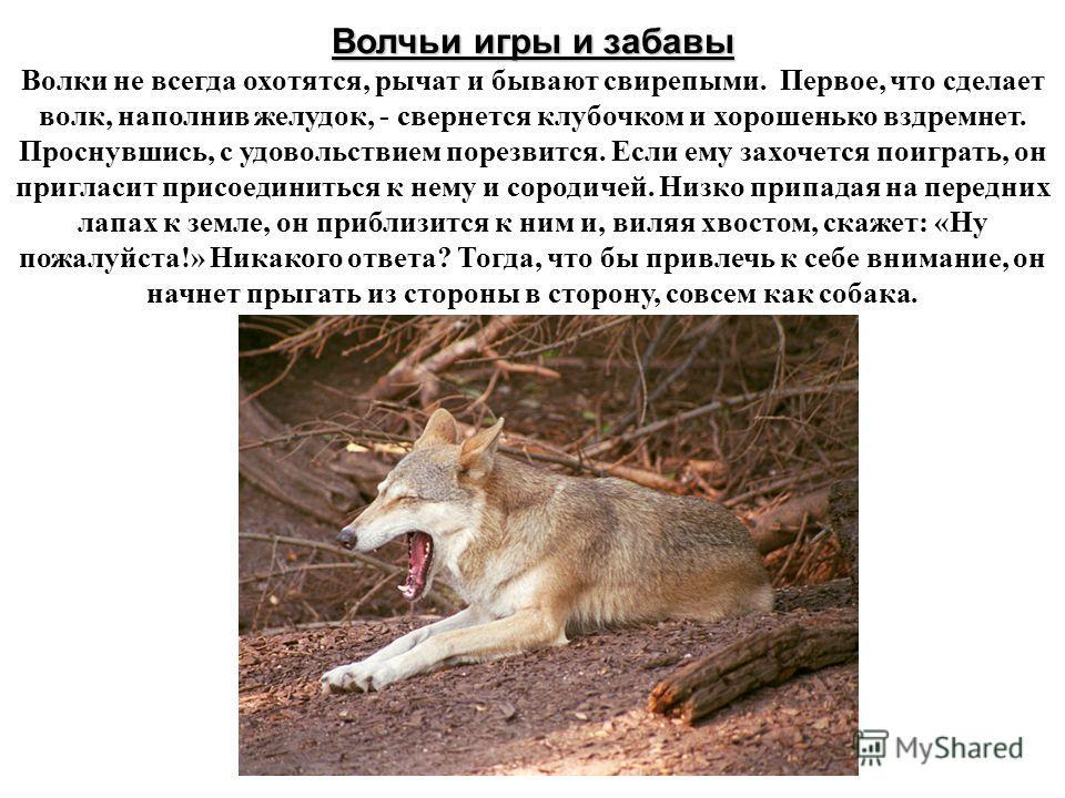 Волчьи игры и забавы Волки не всегда охотятся, рычат и бывают свирепыми. Первое, что сделает волк, наполнив желудок, - свернется клубочком и хорошенько вздремнет. Проснувшись, с удовольствием порезвится. Если ему захочется поиграть, он пригласит прис