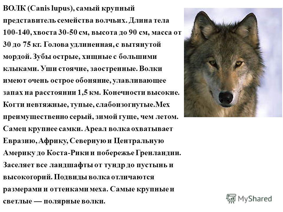 ВОЛК (Canis lupus), самый крупный представитель семейства волчьих. Длина тела 100-140, хвоста 30-50 см, высота до 90 см, масса от 30 до 75 кг. Голова удлиненная, с вытянутой мордой. Зубы острые, хищные с большими клыками. Уши стоячие, заостренные. Во