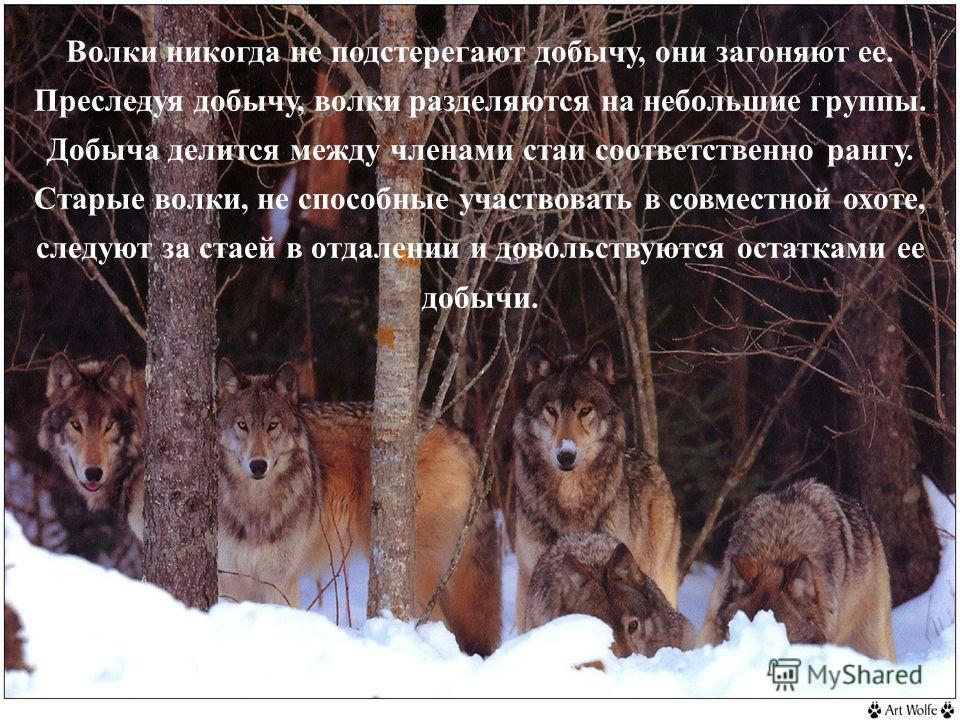 Волки никогда не подстерегают добычу, они загоняют ее. Преследуя добычу, волки разделяются на небольшие группы. Добыча делится между членами стаи соответственно рангу. Старые волки, не способные участвовать в совместной охоте, следуют за стаей в отда