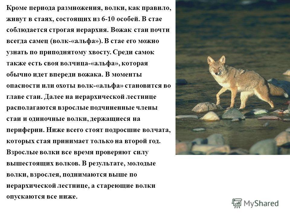 Кроме периода размножения, волки, как правило, живут в стаях, состоящих из 6-10 особей. В стае соблюдается строгая иерархия. Вожак стаи почти всегда самец (волк-«альфа»). В стае его можно узнать по приподнятому хвосту. Среди самок также есть своя вол