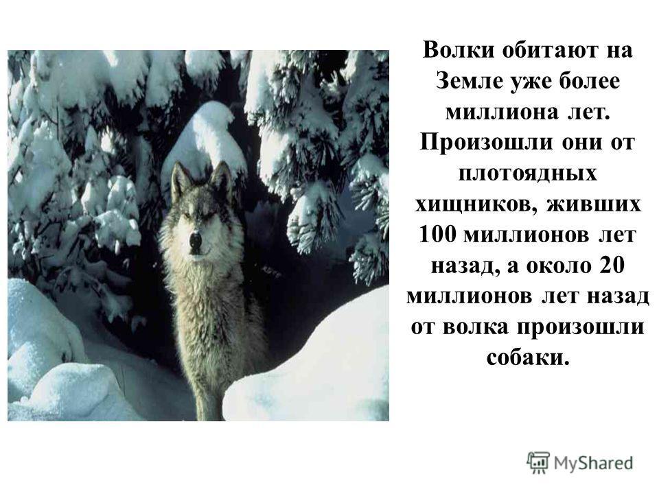 Волки обитают на Земле уже более миллиона лет. Произошли они от плотоядных хищников, живших 100 миллионов лет назад, а около 20 миллионов лет назад от волка произошли собаки.