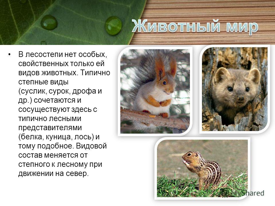 В лесостепи нет особых, свойственных только ей видов животных. Типично степные виды (суслик, сурок, дрофа и др.) сочетаются и сосуществуют здесь с типично лесными представителями (белка, куница, лось) и тому подобное. Видовой состав меняется от степн