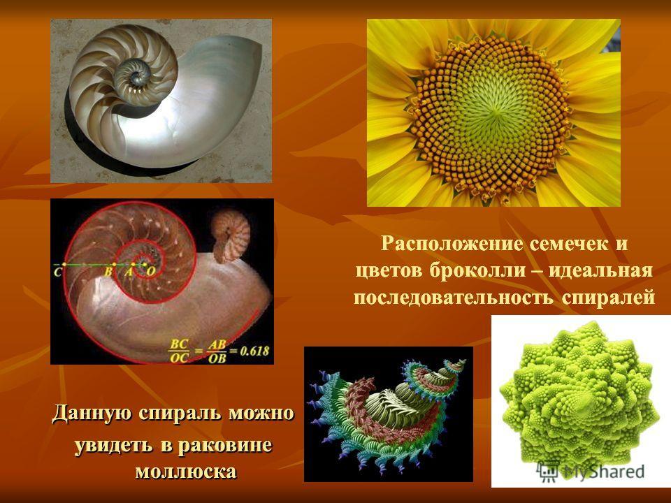Данную спираль можно увидеть в раковине моллюска Расположение семечек и цветов броколли – идеальная последовательность спиралей Данную спираль можно увидеть в раковине моллюска Расположение семечек и цветов броколли – идеальная последовательность спи