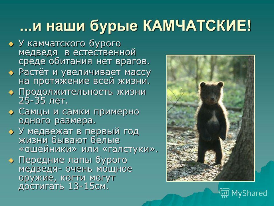 ...и наши бурые КАМЧАТСКИЕ! У камчатского бурого медведя в естественной среде обитания нет врагов. У камчатского бурого медведя в естественной среде обитания нет врагов. Растёт и увеличивает массу на протяжение всей жизни. Растёт и увеличивает массу