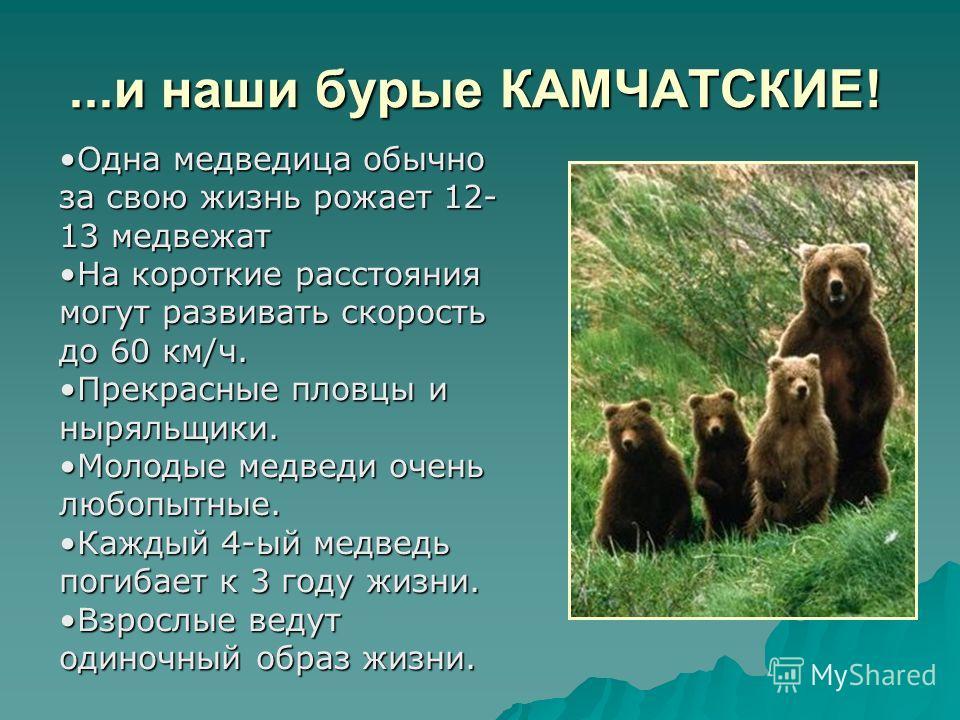 ...и наши бурые КАМЧАТСКИЕ! Одна медведица обычно за свою жизнь рожает 12- 13 медвежатОдна медведица обычно за свою жизнь рожает 12- 13 медвежат На короткие расстояния могут развивать скорость до 60 км/ч.На короткие расстояния могут развивать скорост