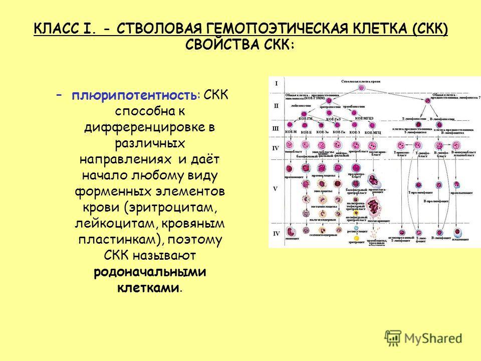 КЛАСС I. - СТВОЛОВАЯ ГЕМОПОЭТИЧЕСКАЯ КЛЕТКА (СКК) СВОЙСТВА СКК: –плюрипотентность: СКК способна к дифференцировке в различных направлениях и даёт начало любому виду форменных элементов крови (эритроцитам, лейкоцитам, кровяным пластинкам), поэтому СКК