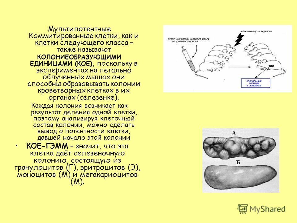 Мультипотентные Коммитированные клетки, как и клетки следующего класса – также называют КОЛОНИЕОБРАЗУЮЩИМИ ЕДИНИЦАМИ (КОЕ), поскольку в экспериментах на летально облученных мышах они способны образовывать колонии кроветворных клетках в их органах (се