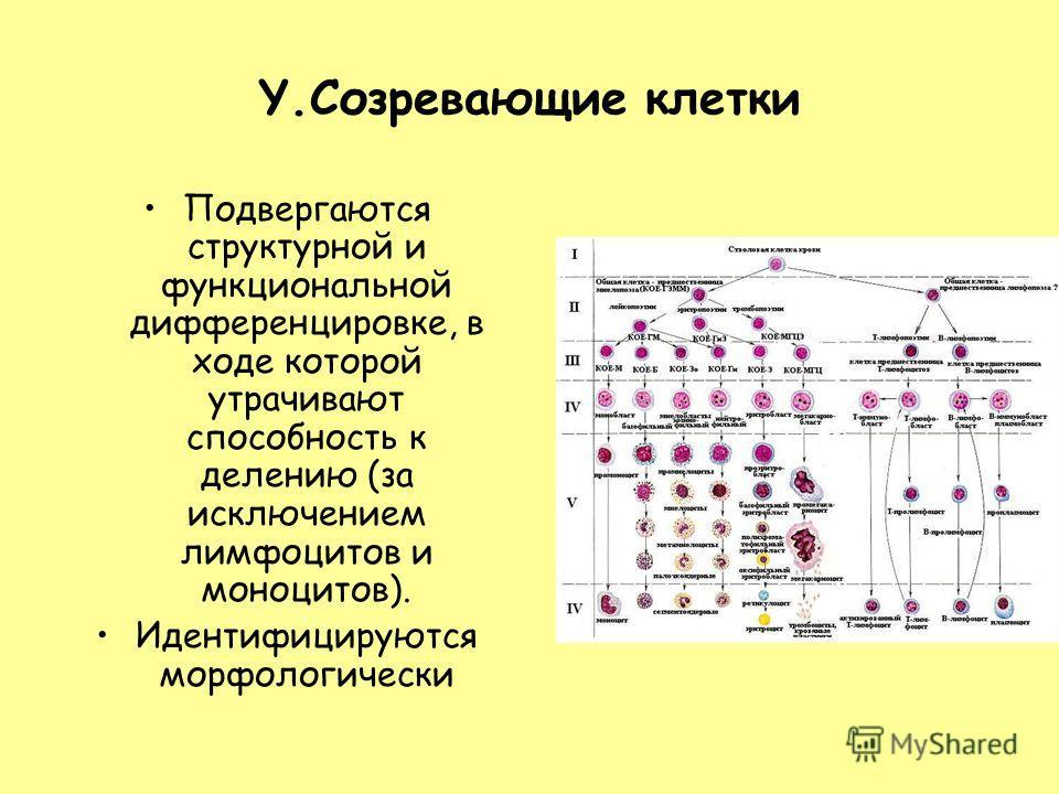 Y.Созревающие клетки Подвергаются структурной и функциональной дифференцировке, в ходе которой утрачивают способность к делению (за исключением лимфоцитов и моноцитов). Идентифицируются морфологически