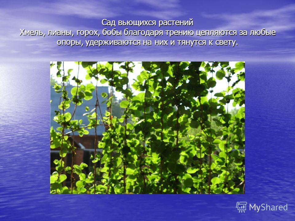 Сад вьющихся растений Хмель, лианы, горох, бобы благодаря трению цепляются за любые опоры, удерживаются на них и тянутся к свету.