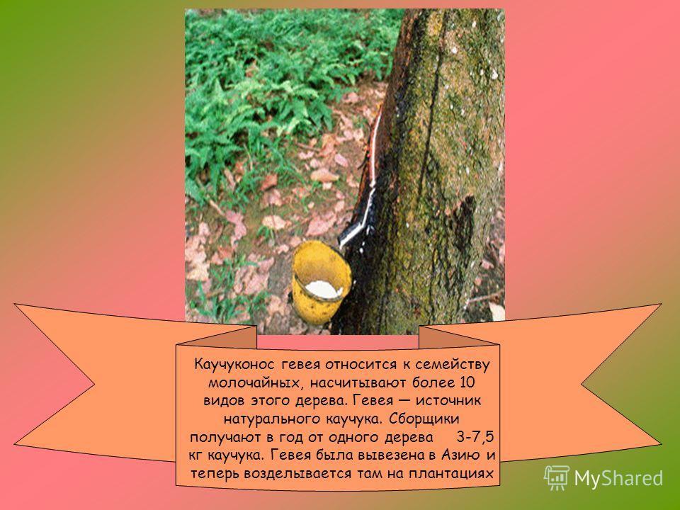 Характерны для южноамериканского тропического леса виды шоколадного дерева с сидящими прямо на стволе цветками и плодами. Плоды культурного шоколадного дерева, богатые ценными питательными веществами, дают сырье для приготовления шоколада. Семена сод