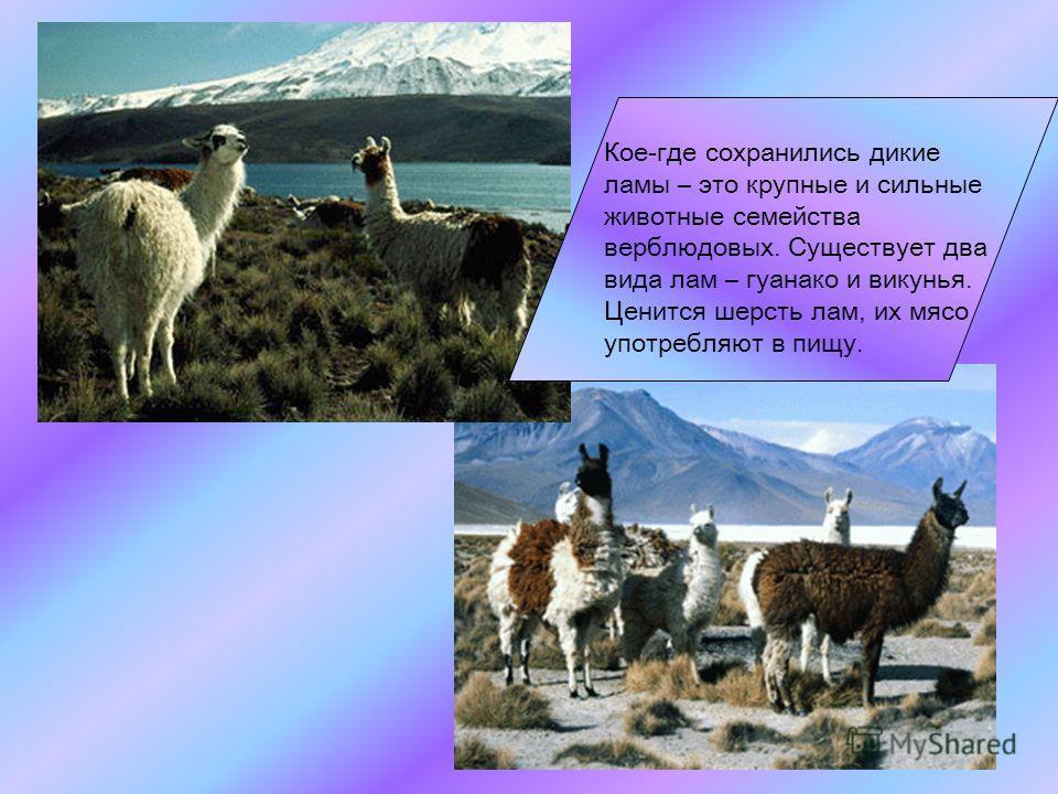 Среди животных, обитающих в Андах, есть древние виды, например очковый медведь Из грызунов замечательна своим ценным мехом шиншилла
