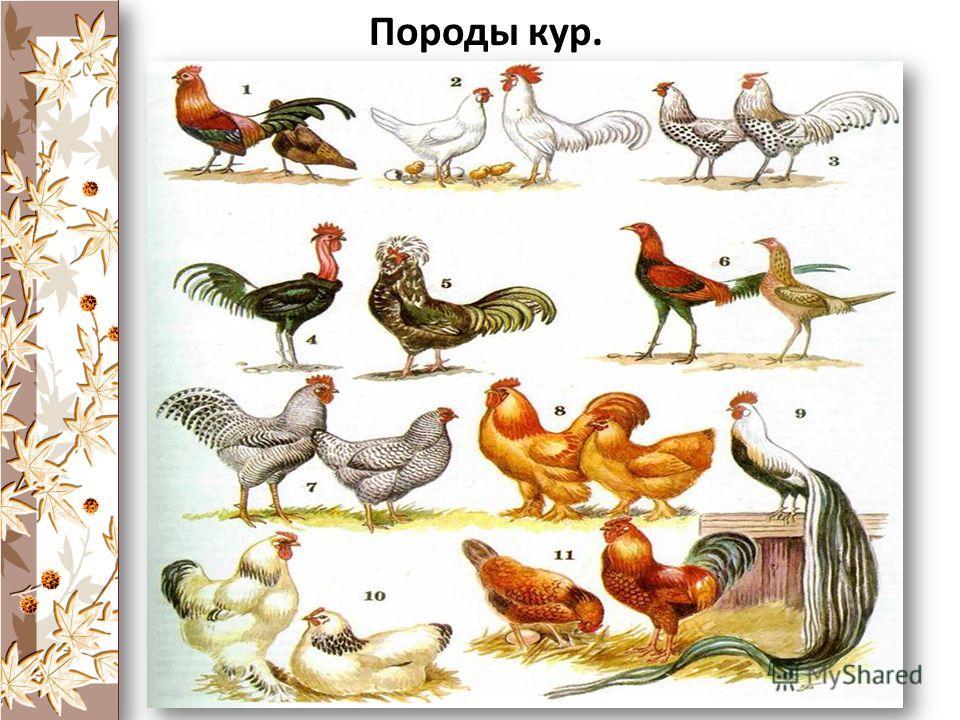 Искусственный отбор – это отбор, производимый человеком для выведения новых пород животных и сортов растений. Породы кур.