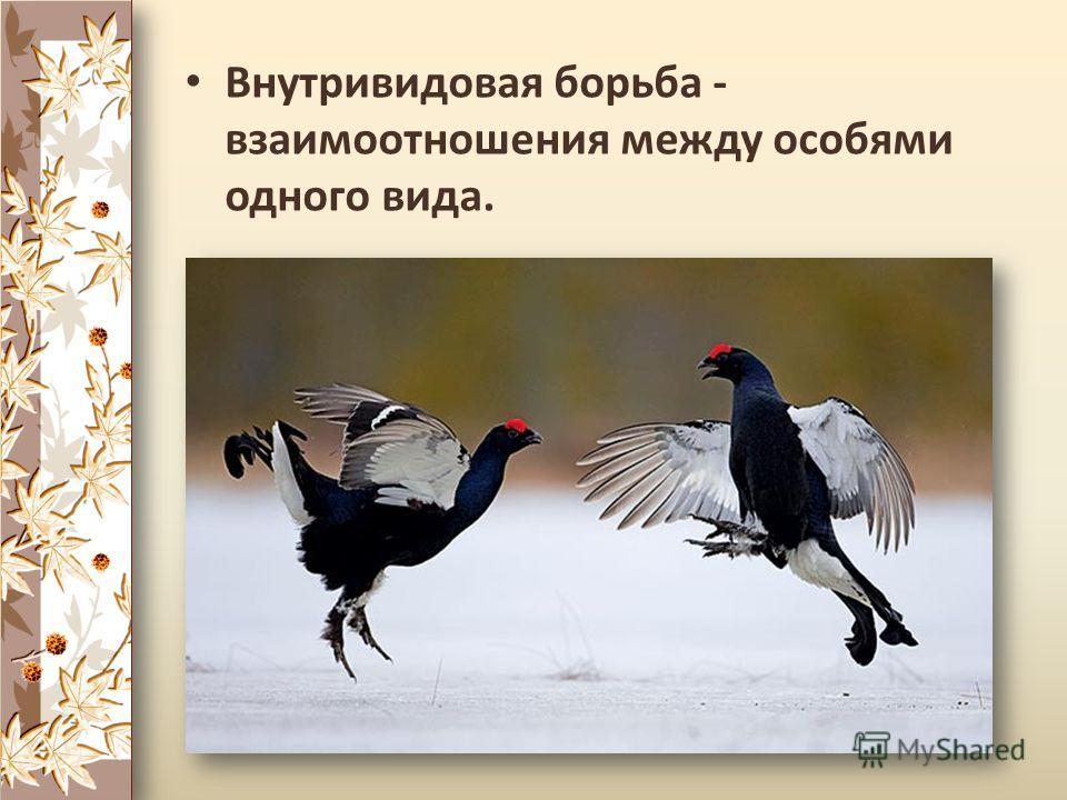 Внутривидовая борьба - взаимоотношения между особями одного вида.