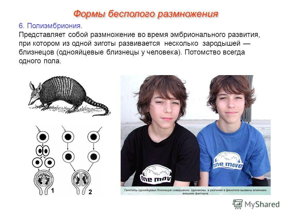 6. Полиэмбриония. Представляет собой размножение во время эмбрионального развития, при котором из одной зиготы развивается несколько зародышей близнецов (однояйцевые близнецы у человека). Потомство всегда одного пола. Формы бесполого размножения