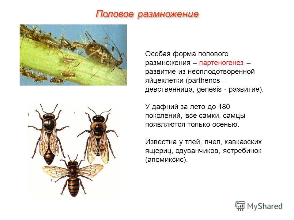 Особая форма полового размножения – партеногенез – развитие из неоплодотворенной яйцеклетки (parthenos – девственница, genesis - развитие). У дафний за лето до 180 поколений, все самки, самцы появляются только осенью. Известна у тлей, пчел, кавказски