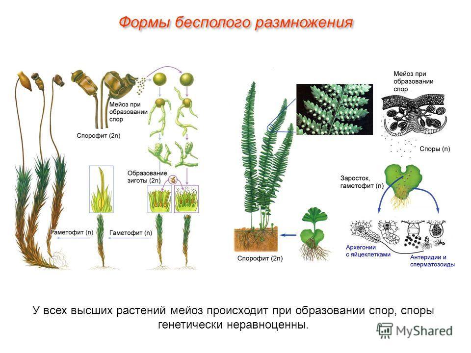 У всех высших растений мейоз происходит при образовании спор, споры генетически неравноценны.