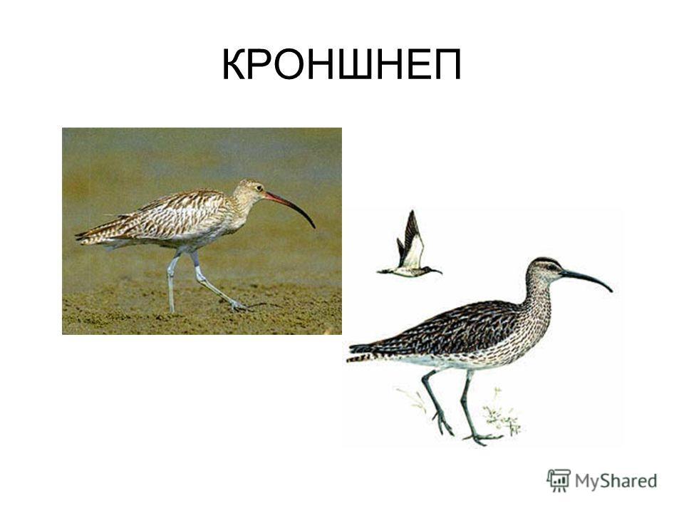 КРОНШНЕП