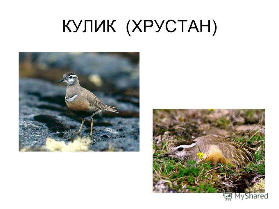 КУЛИК (ХРУСТАН)