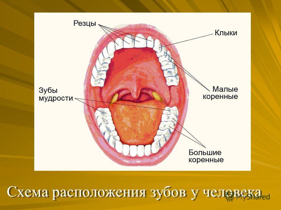 Схема расположения зубов у человека Схема расположения зубов у человека