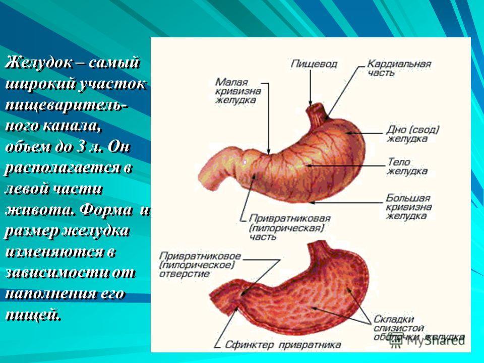 Желудок – самый широкий участок пищеваритель- ного канала, объем до 3 л. Он располагается в левой части живота. Форма и размер желудка изменяются в зависимости от наполнения его пищей. Желудок – самый широкий участок пищеваритель- ного канала, объем