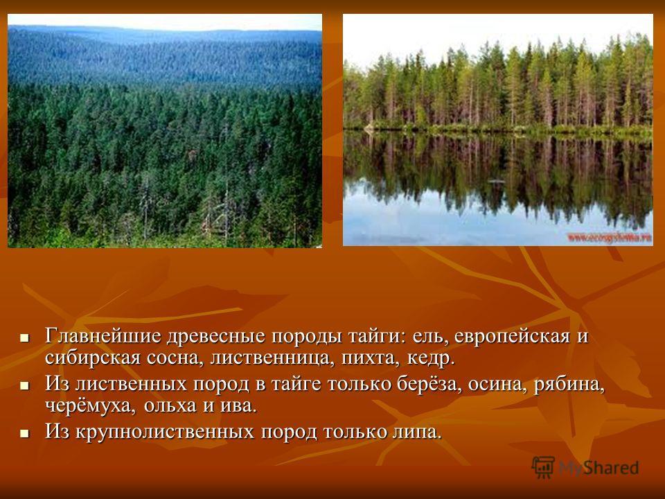 Главнейшие древесные породы тайги: ель, европейская и сибирская сосна, лиственница, пихта, кедр. Главнейшие древесные породы тайги: ель, европейская и сибирская сосна, лиственница, пихта, кедр. Из лиственных пород в тайге только берёза, осина, рябина
