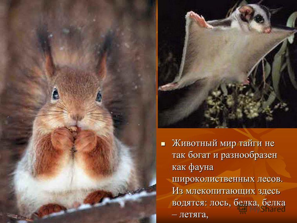 Животный мир тайги не так богат и разнообразен как фауна широколиственных лесов. Из млекопитающих здесь водятся: лось, белка, белка – летяга, Животный мир тайги не так богат и разнообразен как фауна широколиственных лесов. Из млекопитающих здесь водя
