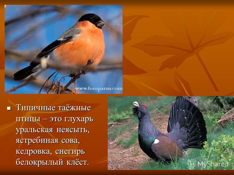 Типичные таёжные птицы – это глухарь уральская неясыть, ястребиная сова, кедровка, снегирь белокрылый клёст. Типичные таёжные птицы – это глухарь уральская неясыть, ястребиная сова, кедровка, снегирь белокрылый клёст.