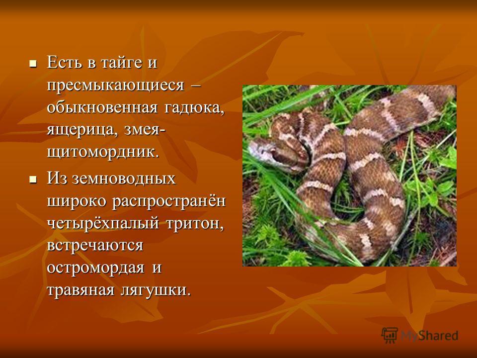 Есть в тайге и пресмыкающиеся – обыкновенная гадюка, ящерица, змея- щитомордник. Есть в тайге и пресмыкающиеся – обыкновенная гадюка, ящерица, змея- щитомордник. Из земноводных широко распространён четырёхпалый тритон, встречаются остромордая и травя