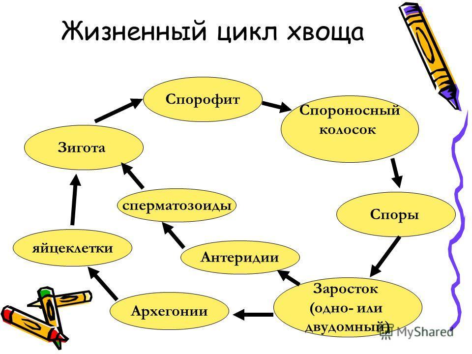 Жизненный цикл хвоща Спорофит Спороносный колосок Споры Заросток (одно- или двудомный) Антеридии Зигота Архегонии сперматозоиды яйцеклетки