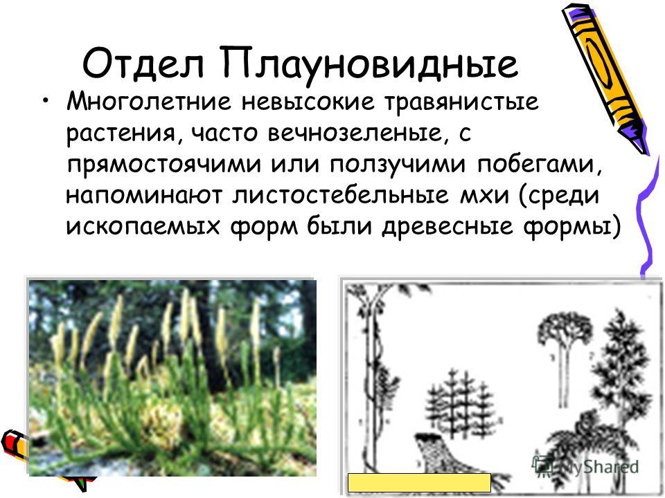 Отдел Плауновидные Многолетние невысокие травянистые растения, часто вечнозеленые, с прямостоячими или ползучими побегами, напоминают листостебельные мхи (среди ископаемых форм были древесные формы)
