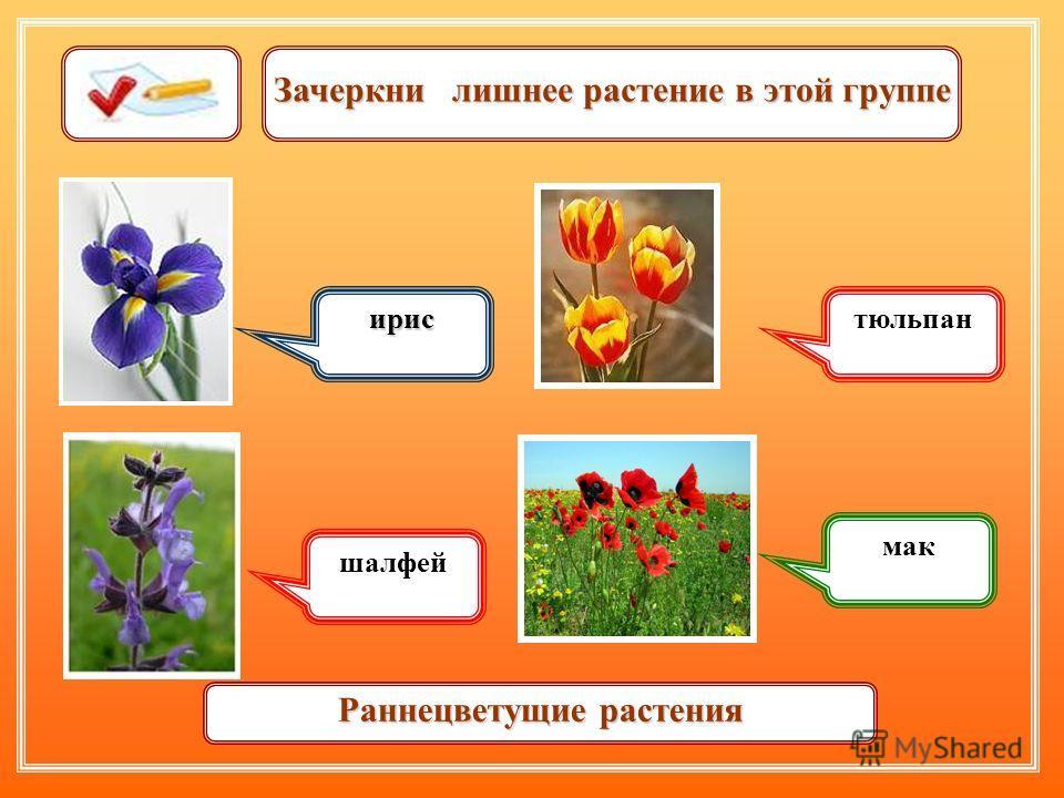 Зачеркни лишнее растение в этой группе ирис шалфей тюльпан мак Раннецветущие растения