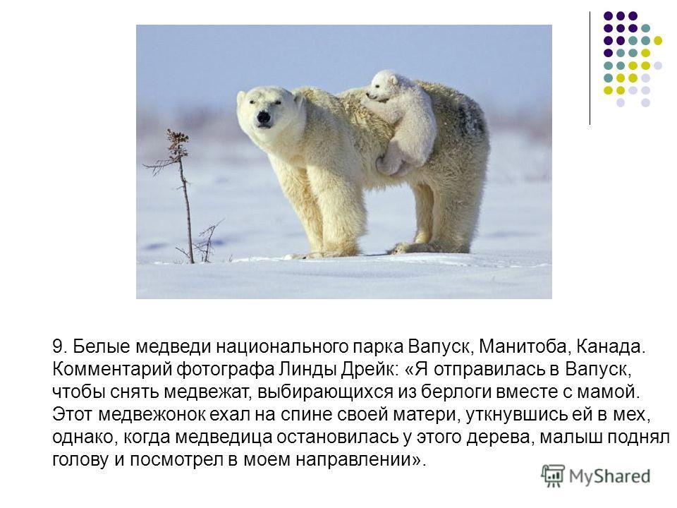 9. Белые медведи национального парка Вапуск, Манитоба, Канада. Комментарий фотографа Линды Дрейк: «Я отправилась в Вапуск, чтобы снять медвежат, выбирающихся из берлоги вместе с мамой. Этот медвежонок ехал на спине своей матери, уткнувшись ей в мех,