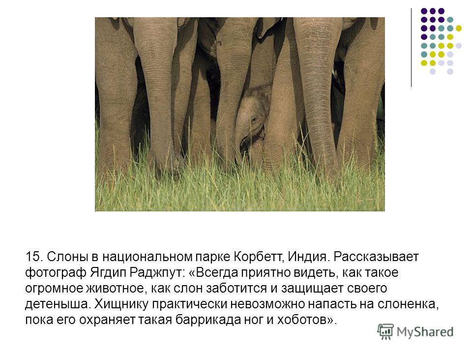 15. Слоны в национальном парке Корбетт, Индия. Рассказывает фотограф Ягдип Раджпут: «Всегда приятно видеть, как такое огромное животное, как слон заботится и защищает своего детеныша. Хищнику практически невозможно напасть на слоненка, пока его охран