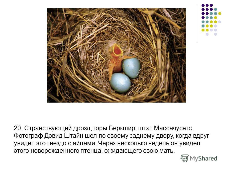 20. Странствующий дрозд, горы Беркшир, штат Массачусетс. Фотограф Дэвид Штайн шел по своему заднему двору, когда вдруг увидел это гнездо с яйцами. Через несколько недель он увидел этого новорожденного птенца, ожидающего свою мать.