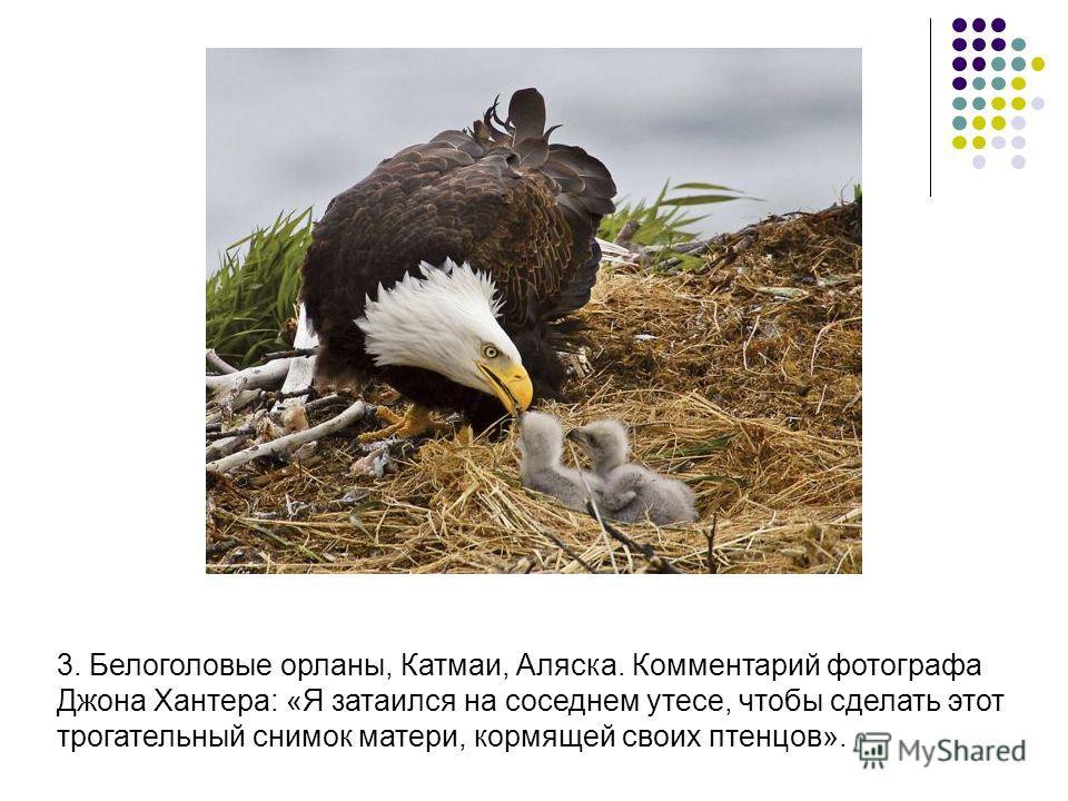 3. Белоголовые орланы, Катмаи, Аляска. Комментарий фотографа Джона Хантера: «Я затаился на соседнем утесе, чтобы сделать этот трогательный снимок матери, кормящей своих птенцов».