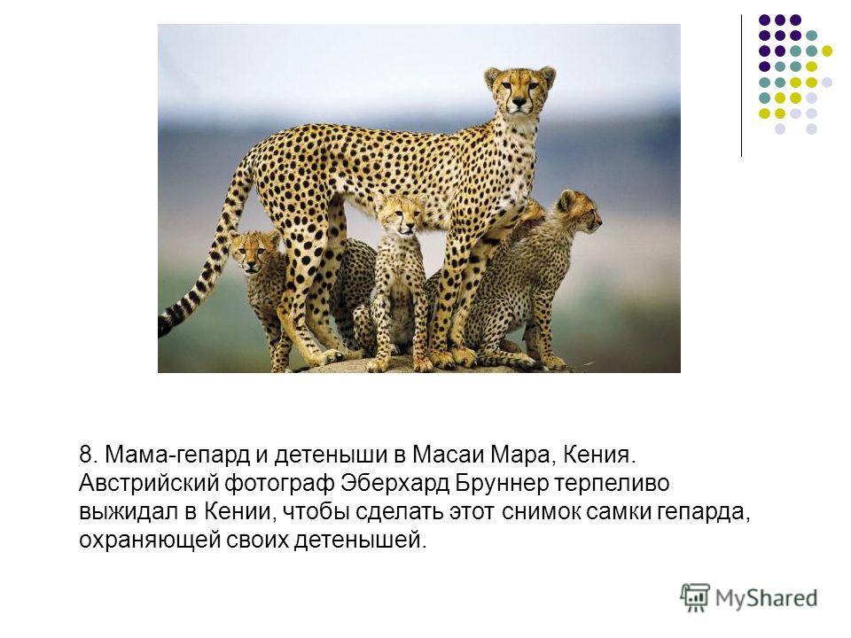 8. Мама-гепард и детеныши в Масаи Мара, Кения. Австрийский фотограф Эберхард Бруннер терпеливо выжидал в Кении, чтобы сделать этот снимок самки гепарда, охраняющей своих детенышей.