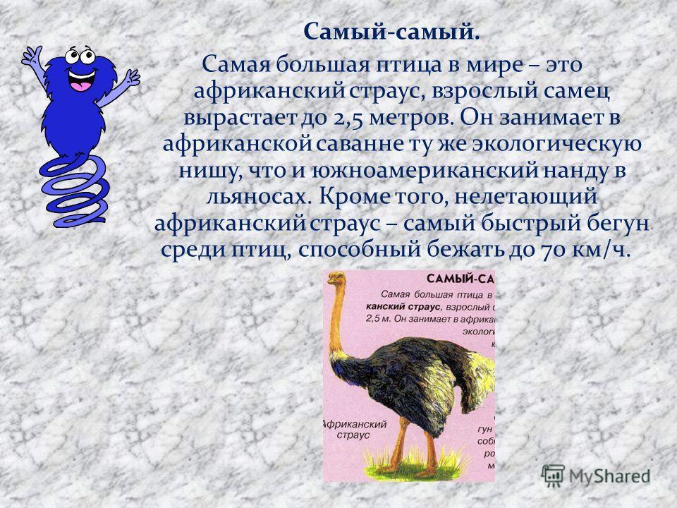 Самый-самый. Самая большая птица в мире – это африканский страус, взрослый самец вырастает до 2,5 метров. Он занимает в африканской саванне ту же экологическую нишу, что и южноамериканский нанду в льяносах. Кроме того, нелетающий африканский страус –