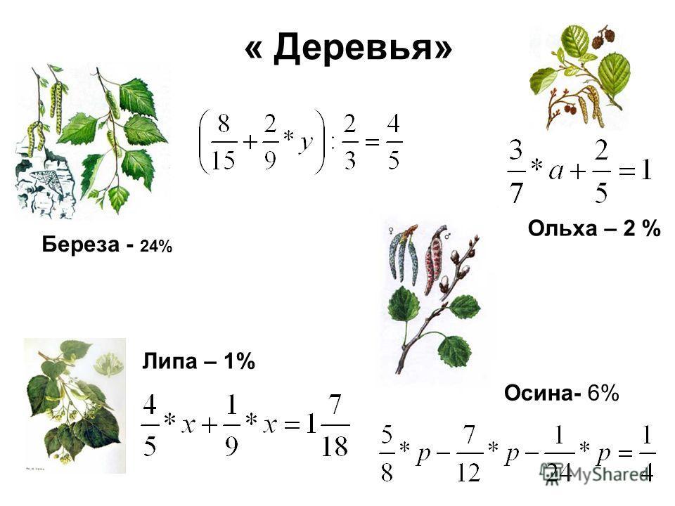 « Деревья» Береза - 24% Липа – 1% Осина- 6% Ольха – 2 %