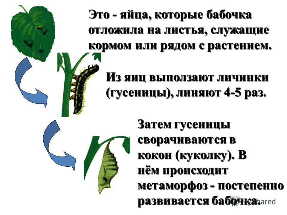 Это - яйца, которые бабочка отложила на листья, служащие кормом или рядом с растением. Из яиц выползают личинки (гусеницы), линяют 4-5 раз. Затем гусеницы сворачиваются в кокон (куколку). В нём происходит метаморфоз - постепенно развивается бабочка.