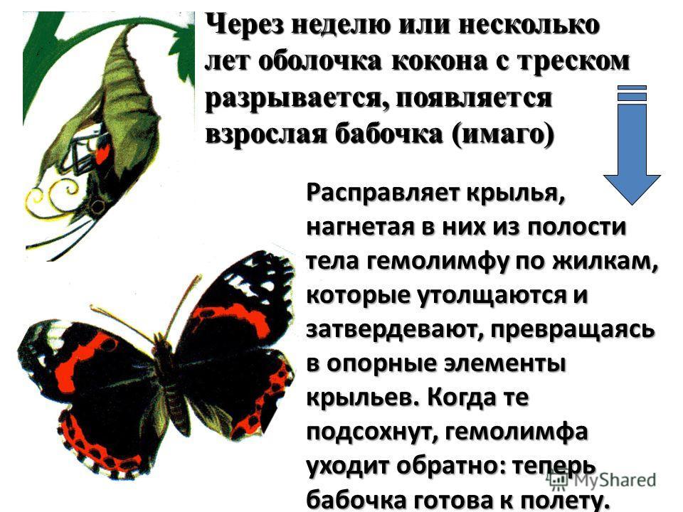 Расправляет крылья, нагнетая в них из полости тела гемолимфу по жилкам, которые утолщаются и затвердевают, превращаясь в опорные элементы крыльев. Когда те подсохнут, гемолимфа уходит обратно: теперь бабочка готова к полету. Через неделю или нескольк