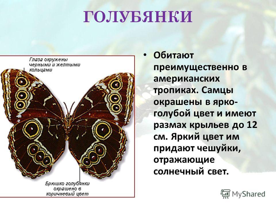 ГОЛУБЯНКИ Обитают преимущественно в американских тропиках. Самцы окрашены в ярко- голубой цвет и имеют размах крыльев до 12 см. Яркий цвет им придают чешуйки, отражающие солнечный свет.