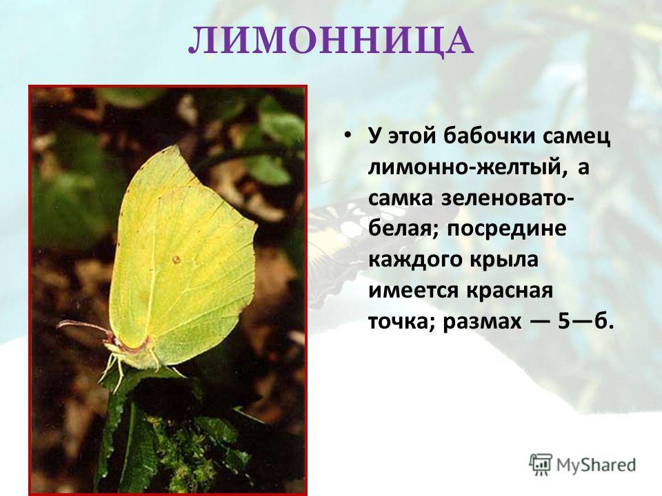 ЛИМОННИЦА У этой бабочки самец лимонно-желтый, а самка зеленовато- белая; посредине каждого крыла имеется красная точка; размах 5б.