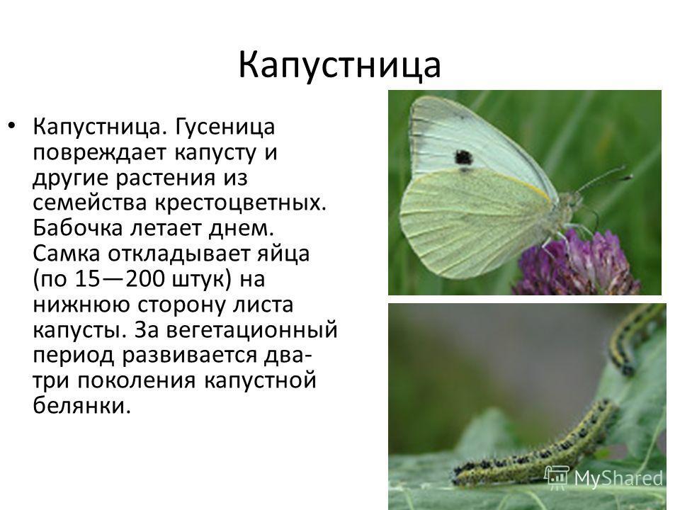 Капустница Капустница. Гусеница повреждает капусту и другие растения из семейства крестоцветных. Бабочка летает днем. Самка откладывает яйца (по 15200 штук) на нижнюю сторону листа капусты. За вегетационный период развивается два- три поколения капус