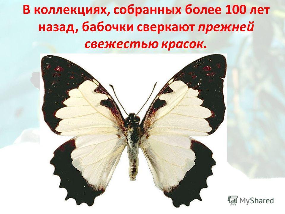 В коллекциях, собранных более 100 лет назад, бабочки сверкают прежней свежестью красок.