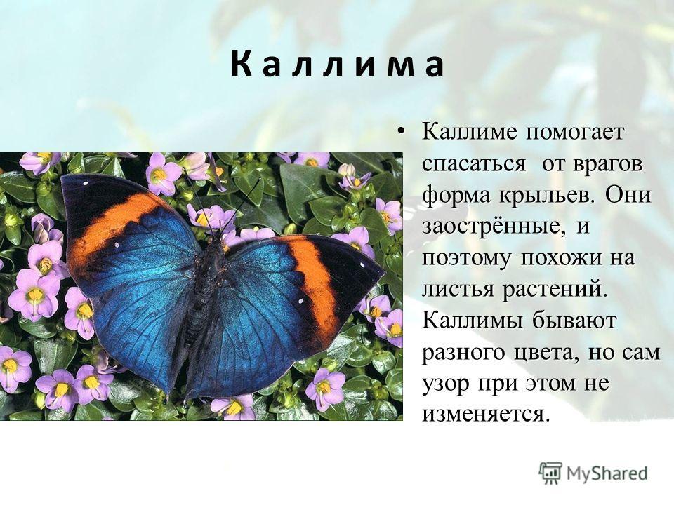 К а л л и м а Каллиме помогает спасаться от врагов форма крыльев. Они заострённые, и поэтому похожи на листья растений. Каллимы бывают разного цвета, но сам узор при этом не изменяется. Каллиме помогает спасаться от врагов форма крыльев. Они заострён