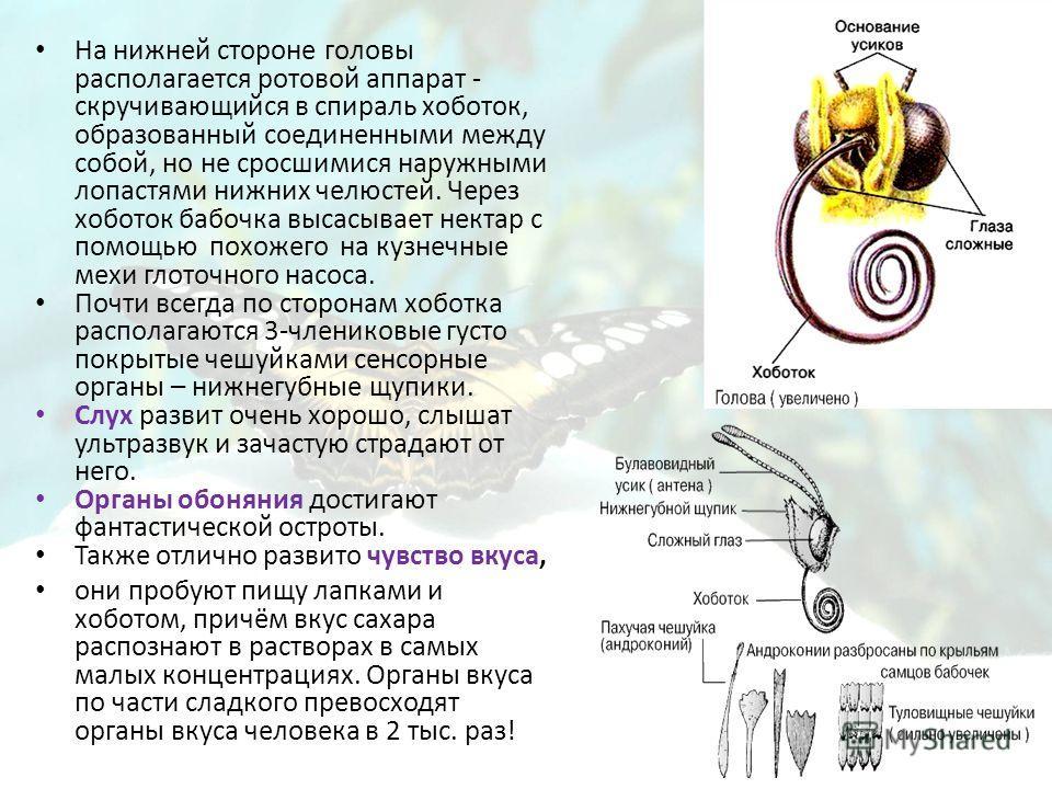 На нижней стороне головы располагается ротовой аппарат - скручивающийся в спираль хоботок, образованный соединенными между собой, но не сросшимися наружными лопастями нижних челюстей. Через хоботок бабочка высасывает нектар с помощью похожего на кузн