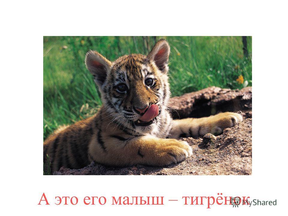 Это тигр