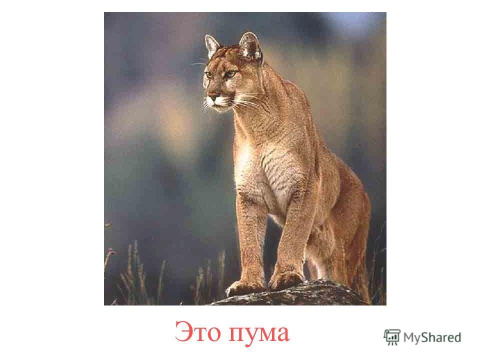 А это его малыш – тигрёнок