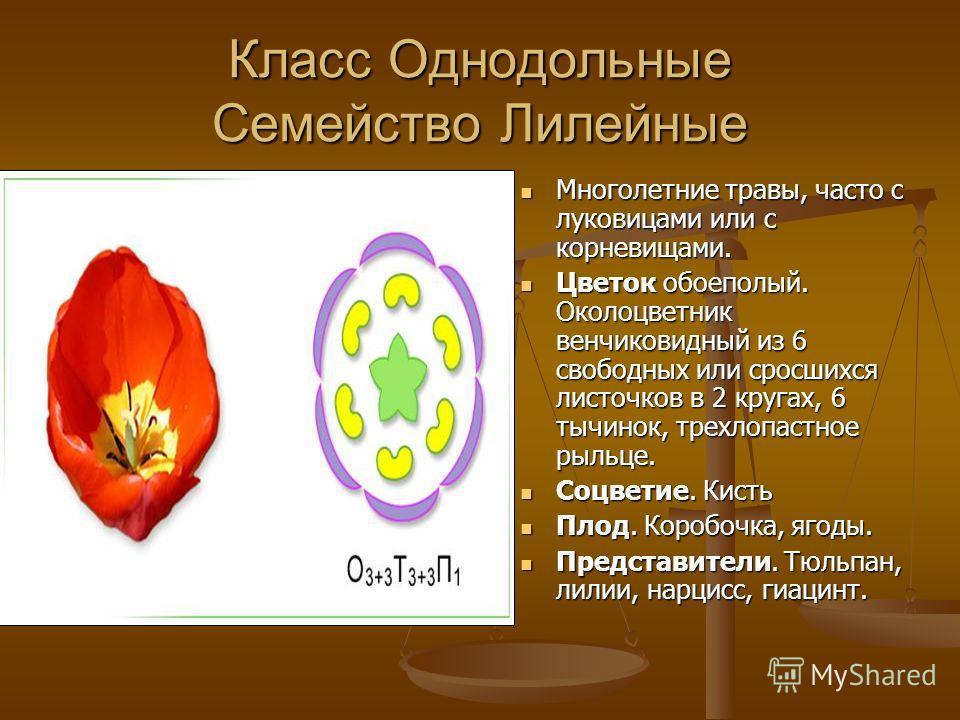 Класс Однодольные Семейство Лилейные Многолетние травы, часто с луковицами или с корневищами. Цветок обоеполый. Околоцветник венчиковидный из 6 свободных или сросшихся листочков в 2 кругах, 6 тычинок, трехлопастное рыльце. Соцветие. Кисть Плод. Короб